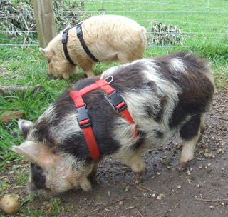 Pig Harness